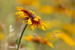 Rudbeckia flower Stock Image