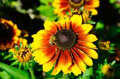 Rudbeckia flower. Royalty Free Stock Image