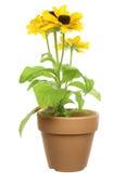 Rudbeckia in a flowerpot Stock Photos