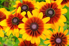 Rudbeckia flowers Royalty Free Stock Images