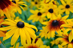 Rudbeckia flowers Stock Photography