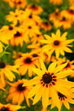 Rudbeckia flowers Royalty Free Stock Image