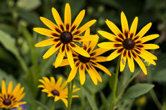 Rudbeckia flowers on a bed beautiful summer background. With long-horned beetles stock images