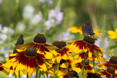 Rudbeckia flowers and Butterfly Drinking Nectar From Orange Peta Stock Photos