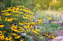 Rudbeckia flowers commonly called coneflowers and black-eyed-susans, Rudbeckia hirta in the garden. Natural scene. stock photography