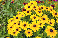 Rudbeckia flowers in garden Royalty Free Stock Image