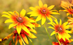 Rudbeckia flowers Stock Image