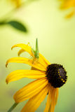 Rudbeckia flowers with grasshopper Royalty Free Stock Photo