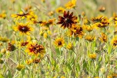 Rudbeckia flowers Stock Photo