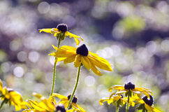 Rudbeckia flowers in morning sunlight Royalty Free Stock Photography