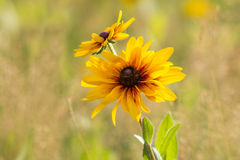 Rudbeckia flowers in nature Stock Images