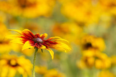 Rudbeckia flowers in nature Stock Image