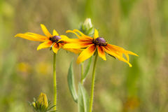 Rudbeckia flowers in nature Royalty Free Stock Images