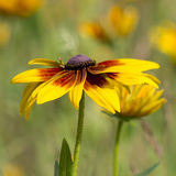 Rudbeckia flowers in nature Stock Photo