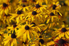 Rudbeckia flowers Stock Photo