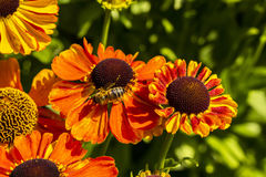 Rudbeckia Flowers With Honey Bee Close-up. Royalty Free Stock Image