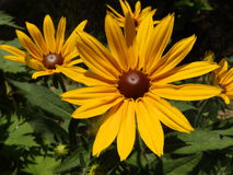 Rudbeckia flowers Royalty Free Stock Photography