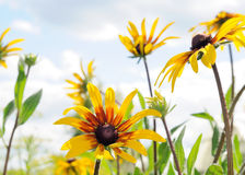 Rudbeckia in front of blue sky Royalty Free Stock Image