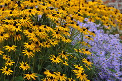 Rudbeckia fulgida with aster flowers Stock Image