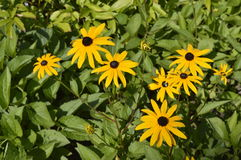 Rudbeckia fulgida. Beautiful, daisy-like yellow flower Royalty Free Stock Image