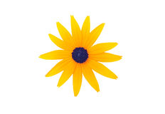 Rudbeckia fulgida blossom, isolated on white Stock Photography