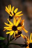 Rudbeckia fulgida, jesień kwiaty fotografia royalty free