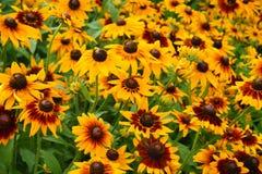 Rudbeckia fulgida on a summer garden Stock Photography