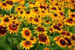 Rudbeckia fulgida on a summer garden Royalty Free Stock Images