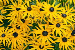 Rudbeckia fulgida var speciosa Goldsturm. Orange flower of Rudbeckia fulgida var speciosa Goldsturm Asteraceae (Orange Coneflower) botanical garden Gothenburg stock images