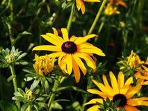 Rudbeckia fulgida 'Goldstrum' (orange coneflower) Royalty Free Stock Photos