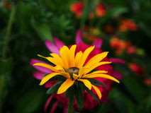 Rudbeckia fulgida 'Goldstrum' (orange coneflower) Royalty Free Stock Image
