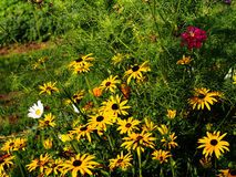 Rudbeckia fulgida 'Goldstrum' (orange coneflower) Stock Images