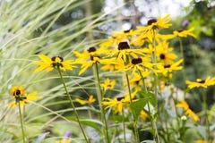 Rudbeckia in the garden Royalty Free Stock Image