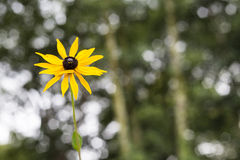 Rudbeckia in the garden Royalty Free Stock Image