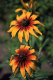 Rudbeckia in the garden. In summer time Stock Photography