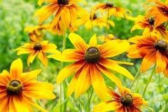 Rudbeckia geel in aard royalty-vrije stock afbeeldingen