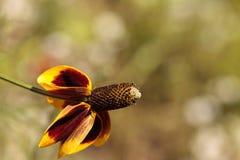Rudbeckia gele en rode bloem, Rudbeckia-maxima, met een kegel s Royalty-vrije Stock Afbeeldingen