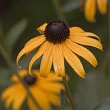 Rudbeckia giallo del fiore Fotografia Stock