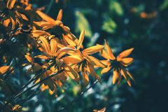 Rudbeckia giallo o fiori di margherita gialla fotografia stock