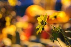 Rudbeckia, gloriosatusensköna, guld- tusensköna, gul tusensköna eller gulingprästkrage royaltyfri foto