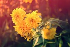 Rudbeckia golden ball flower stock photography
