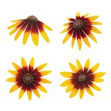 Rudbeckia head set isolated on a white. As design element. Stock Image