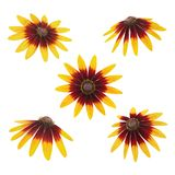 Rudbeckia head set isolated on a white. As design elements. Stock Photo