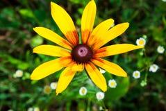 Rudbeckia Hirta, également connu sous le nom de Susan aux yeux noirs ou aux yeux bruns, b photographie stock