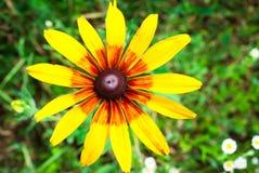 Rudbeckia Hirta, également connu sous le nom de Susan aux yeux noirs ou aux yeux bruns, b photographie stock libre de droits