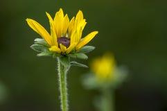 Rudbeckia hirta żółty kwiat z czarnym brązu centrum w kwiacie, z podbitym okiem Susan w ogródzie zdjęcia stock