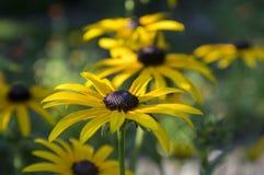 Rudbeckia hirta żółty kwiat z czarnym brown centre w kwiacie, z podbitym okiem Susan w ogródzie zdjęcia royalty free