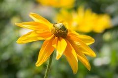 Rudbeckia hirta, żółty lato kwiat Obraz Stock