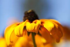 Rudbeckia Hirta или черно-наблюданный завод Сьюзан в парке лета Браун betty, маргаритка gloriosa, золотой Иерусалим, английское я стоковые изображения rf