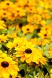 Rudbeckia Hirta, чернит наблюданное Сьюзан Стоковые Изображения RF